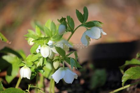 クリスマスローズの花の写真素材 [FYI01270718]