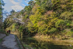 春の養老渓谷の中瀬遊歩道から見た風景の写真素材 [FYI01270804]