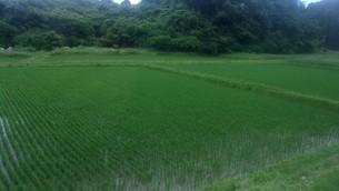 松島の田圃(宮城県)の写真素材 [FYI01271156]