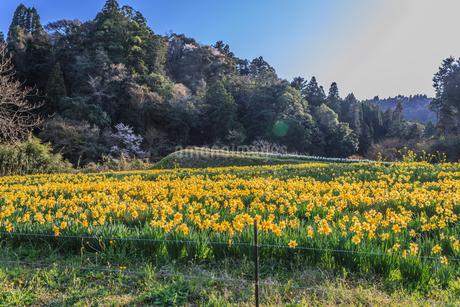 春の養老渓谷の水仙畑の風景の写真素材 [FYI01271179]