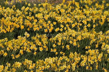 春の養老渓谷の水仙畑の風景の写真素材 [FYI01271181]