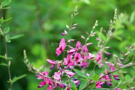 ハギの花の写真素材 [FYI01272219]