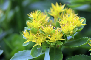 キリンソウの花の写真素材 [FYI01272220]