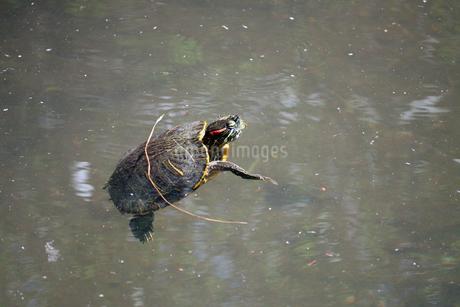 川を泳ぐミシシッピアカミミガメの写真素材 [FYI01272223]