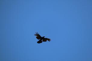 青空を飛ぶカラスの写真素材 [FYI01272224]