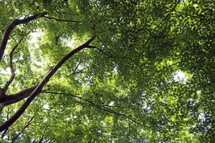 モミジの新緑の写真素材 [FYI01272235]