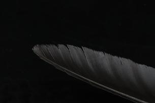 カラスの羽根の写真素材 [FYI01272244]
