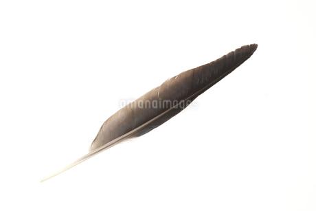 カラスの羽根の写真素材 [FYI01272246]