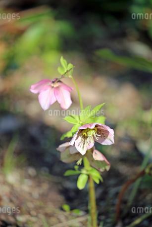 クリスマスローズの花の写真素材 [FYI01272262]