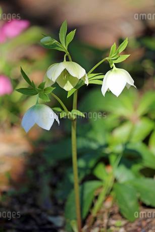 クリスマスローズの花の写真素材 [FYI01272265]