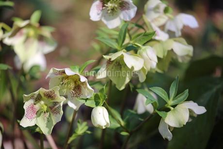 クリスマスローズの花の写真素材 [FYI01272266]