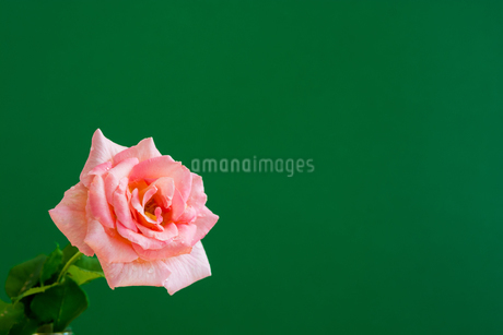 緑背景のピンクのバラの写真素材 [FYI01272268]