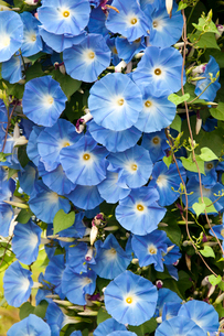 青いアサガオの花の写真素材 [FYI01272272]