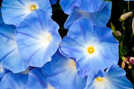 青いアサガオの花の写真素材 [FYI01272273]