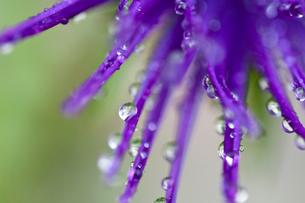 村秋色の花びらと水滴の写真素材 [FYI01272274]