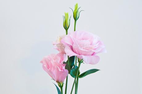 白背景のピンクのトルコキキョウの写真素材 [FYI01272275]
