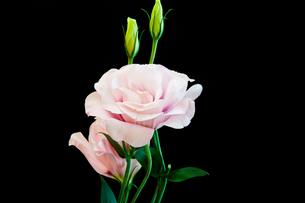 黒背景のピンクのトルコキキョウの写真素材 [FYI01272276]