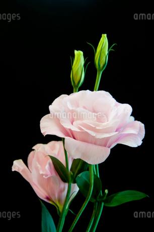 黒背景のピンクのトルコキキョウの写真素材 [FYI01272277]