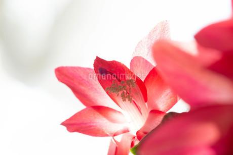 赤いサボテンの花のクローズアップの写真素材 [FYI01272278]