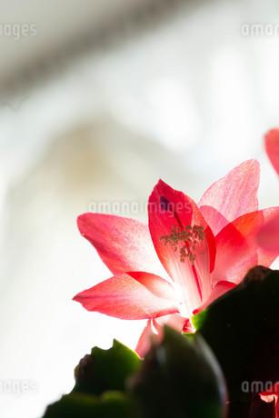赤いサボテンの花のクローズアップの写真素材 [FYI01272279]