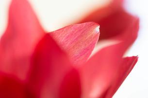 赤いサボテンの花のクローズアップの写真素材 [FYI01272280]