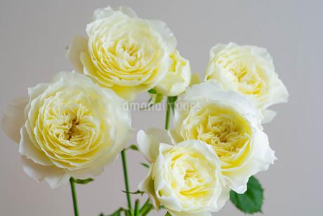 白背景の白いバラの写真素材 [FYI01272281]