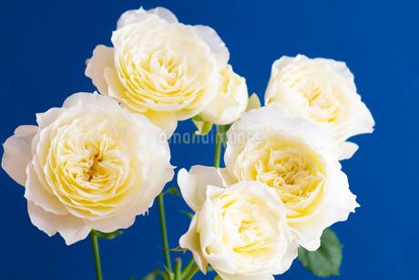 青背景の白いバラの写真素材 [FYI01272282]