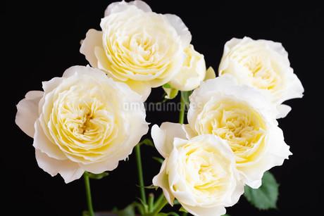 黒背景の白いバラの写真素材 [FYI01272283]