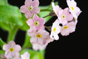 黒背景のピンクのワスレナグサの写真素材 [FYI01272284]