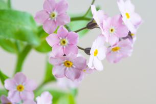白背景のピンクのワスレナグサの写真素材 [FYI01272285]