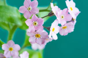 緑背景のピンクのワスレナグサの写真素材 [FYI01272286]