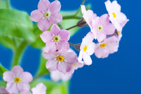 青背景のピンクのワスレナグサの写真素材 [FYI01272287]