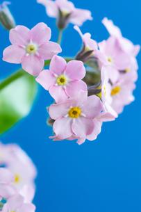 青背景のピンクのワスレナグサの写真素材 [FYI01272288]