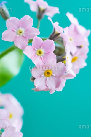 緑背景のピンクのワスレナグサの写真素材 [FYI01272289]