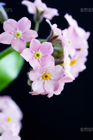黒背景のピンクのワスレナグサの写真素材 [FYI01272290]