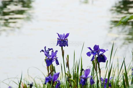 水辺に咲く紫色のアヤメの写真素材 [FYI01272291]