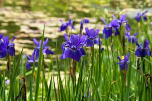 水辺に咲く紫色のアヤメの写真素材 [FYI01272292]
