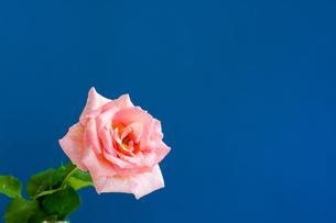 青背景のピンクのバラの写真素材 [FYI01272293]