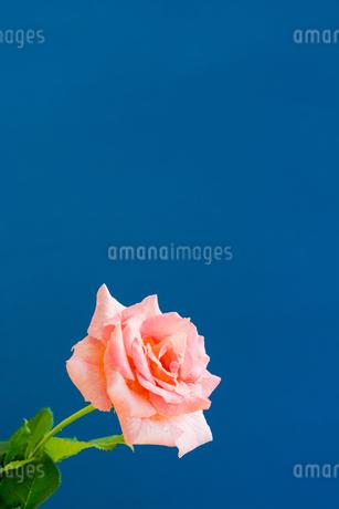 青背景のピンクのバラの写真素材 [FYI01272294]