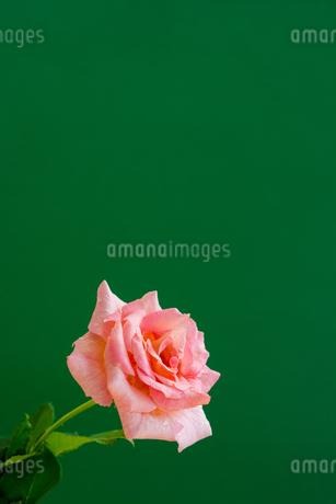緑背景のピンクのバラの写真素材 [FYI01272295]