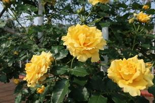 屋外で咲く黄色いバラの写真素材 [FYI01272323]