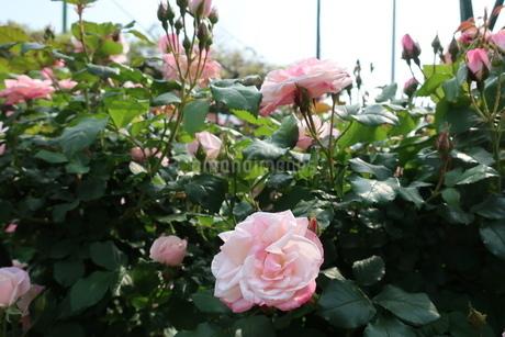 屋外で咲く薄ピンク色のバラの花の写真素材 [FYI01272817]
