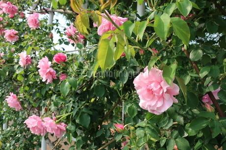 屋外で咲く薄ピンク色のバラの花の写真素材 [FYI01272819]