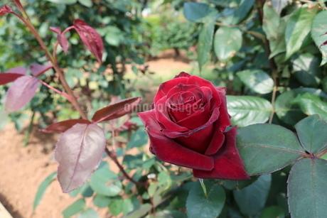 屋外で咲く赤いバラの花の写真素材 [FYI01272824]