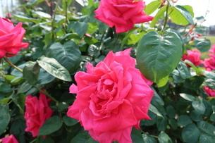 屋外で咲く赤いバラの花の写真素材 [FYI01272827]