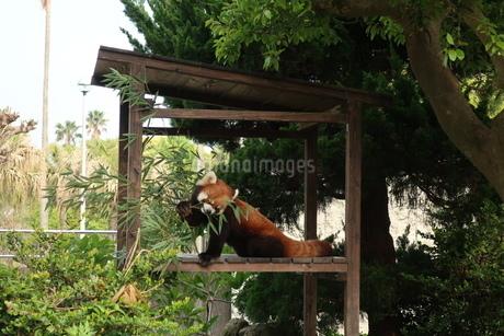 笹をかじるレッサーパンダの写真素材 [FYI01273778]