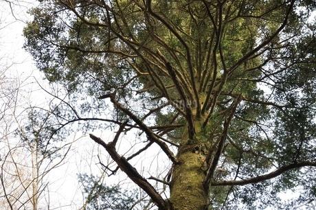 モミの木の写真素材 [FYI01273802]
