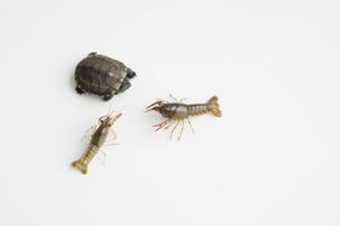 ザリガニと亀の写真素材 [FYI01274112]