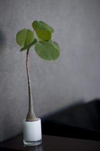 観葉植物の写真素材 [FYI01274345]