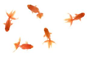 金魚の写真素材 [FYI01278122]